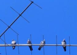 Как депутаты голубей гоняют