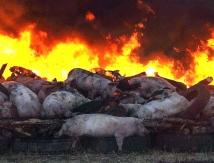 Свиноцид народа
